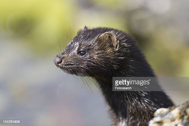 american mink (mustela vison). non-native species in the uk considered a threat to ground-nesting birds and water voles in particular. widespread as a result of escapes from fur farms since the 1950s. - mink animal stock pictures, royalty-free photos & images