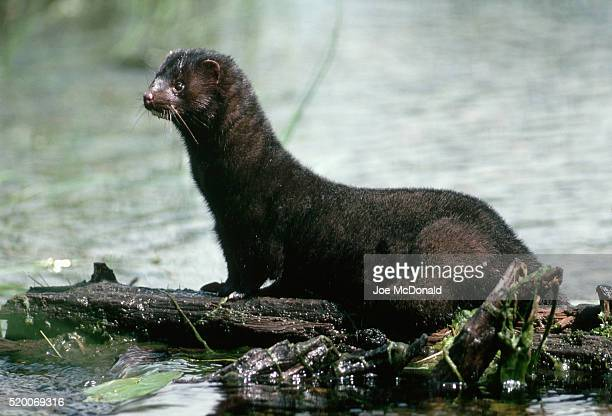 american mink on floating log - mink animal stock pictures, royalty-free photos & images