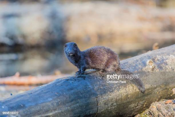 American mink (Neovison vison), on tree trunk, Masuria, Poland