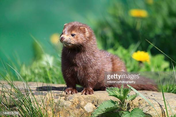 american mink - mink animal stock pictures, royalty-free photos & images