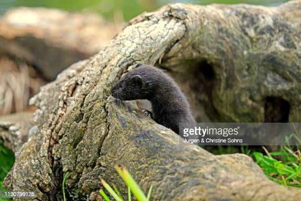 American Mink (Mustela vison), young animal in hollow tree trunk, Pine County, Minnesota, USA