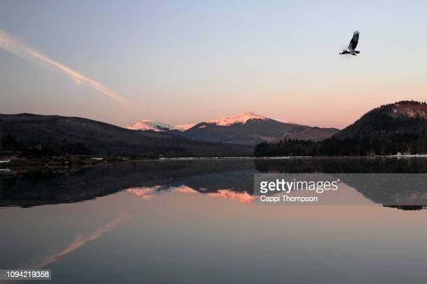 american osprey flying with fish over the androscoggin river during early december with new hampshire white mountains presidential range in background - appalachia stock pictures, royalty-free photos & images