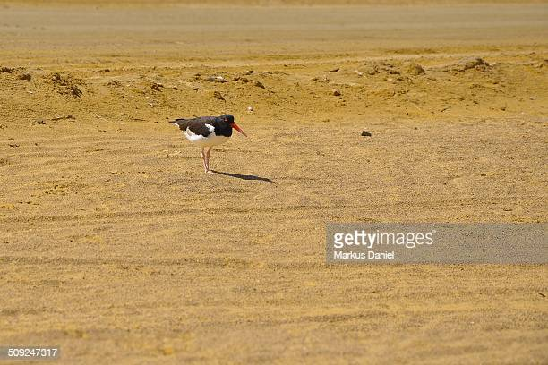 "american oystercatcher (haematopus palliatus) - ""markus daniel"" stock pictures, royalty-free photos & images"