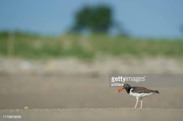 american oystercatcher stands sandy beach with
