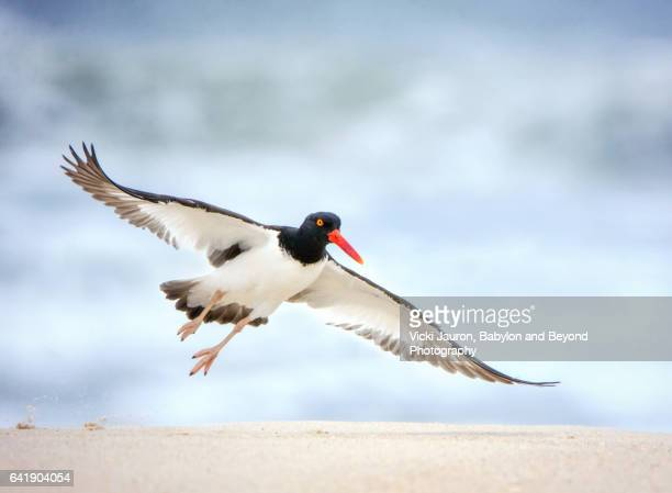 american oystercatcher (haematopus) taking off at jones beach - wantagh stock pictures, royalty-free photos & images