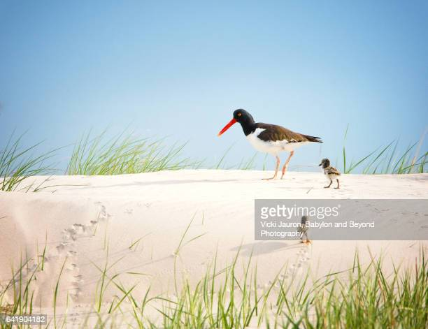 American Oystercatcher (Haematopus) with Two Chicks at Nickerson Beach