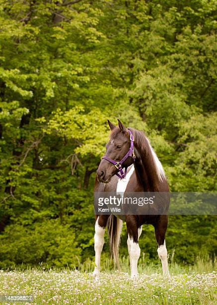 American paint horse standing in field