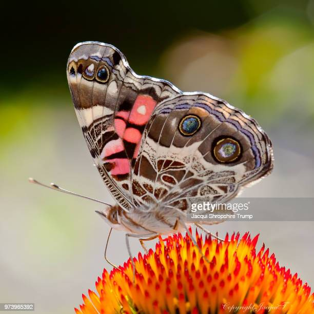 american painted lady - moth stock pictures, royalty-free photos & images