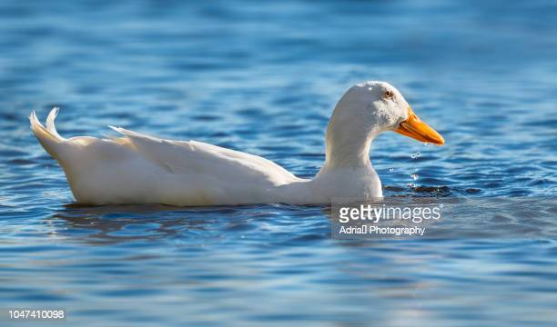 american pekin duck swimming - pekin duck stock pictures, royalty-free photos & images