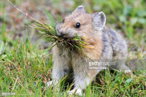 american pika (ochotona princeps) eating - lagomorphs stock pictures, royalty-free photos & images