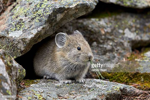 american pika (ochotona princeps) eating, yellowstone national park, wyoming, united states of america, north america - pika stock pictures, royalty-free photos & images