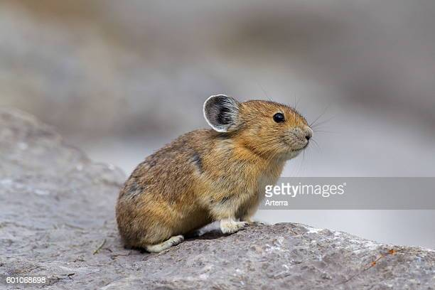 American pika native to alpine regions of Canada and western US, where its populations are falling victim to global climate change.