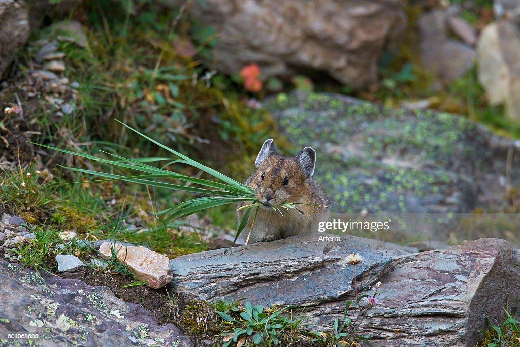 American pika (Ochotona princeps) native to alpine regions of Canada and western US : News Photo