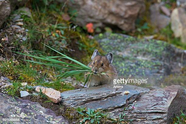 American pika native to alpine regions of Canada and western US, with a mouthful of grass stalks.