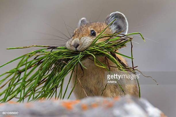 American pika native to alpine regions of Canada and western US, with mouthful of vegetation in rocky terrain.