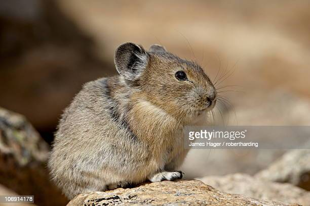american pika (ochotona princeps), shoshone national forest, wyoming, united states of america, north america - pika stock pictures, royalty-free photos & images