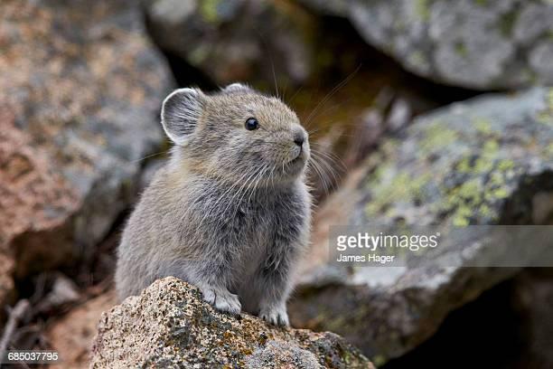american pika (ochotona princeps), yellowstone national park, wyoming, usa - pika stock pictures, royalty-free photos & images
