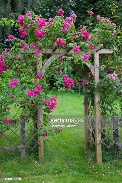 american pillar rose growing over rose arch in english garden. - arch stock pictures, royalty-free photos & images