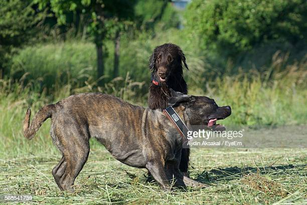 american pit bull terrier and flat-coated retriever on grassy field - american pit bull terrier stock pictures, royalty-free photos & images