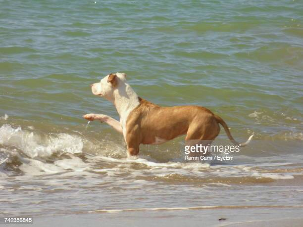 american pit bull terrier looking away while standing in water at beach - american pit bull terrier stock pictures, royalty-free photos & images