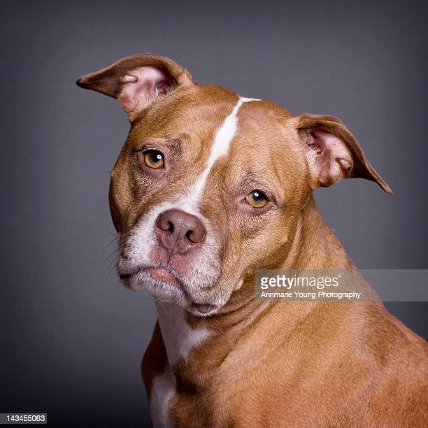 american pit bull terrier - pit bull terrier stock photos and pictures