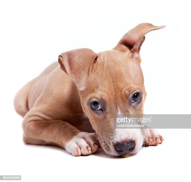 american pit bull terrier puppy isolated on white - american pit bull terrier stock pictures, royalty-free photos & images