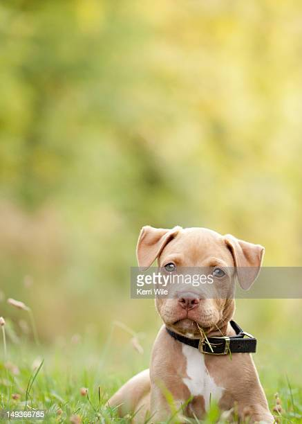 American pit bull Terrier puppy lying in grass