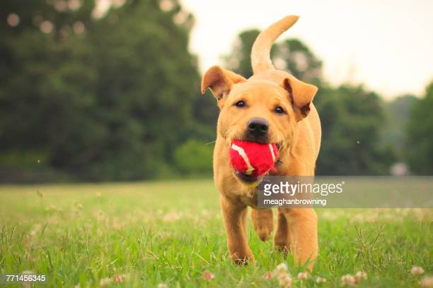 american pit bull terrier running in the park with a ball in its mouth - bull balls stock pictures, royalty-free photos & images