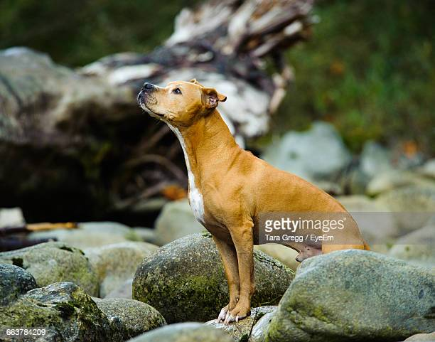 american pit bull terrier standing on rock - american pit bull terrier stock pictures, royalty-free photos & images