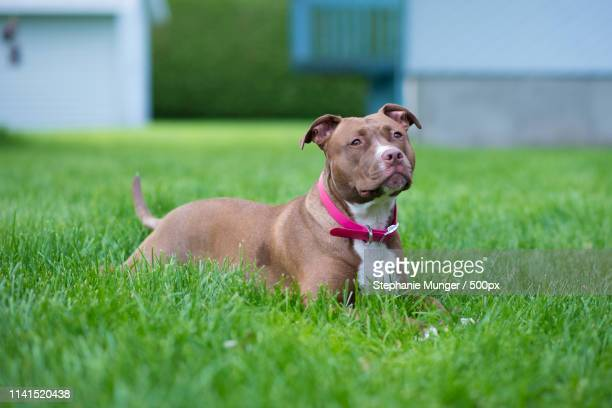 american pit bull terrierresting on green lawn - american pit bull terrier stock pictures, royalty-free photos & images