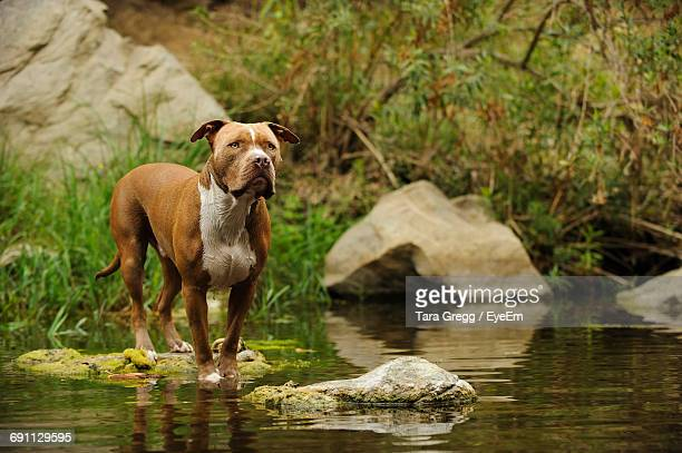 american pitbull terrier - american pit bull terrier stock pictures, royalty-free photos & images
