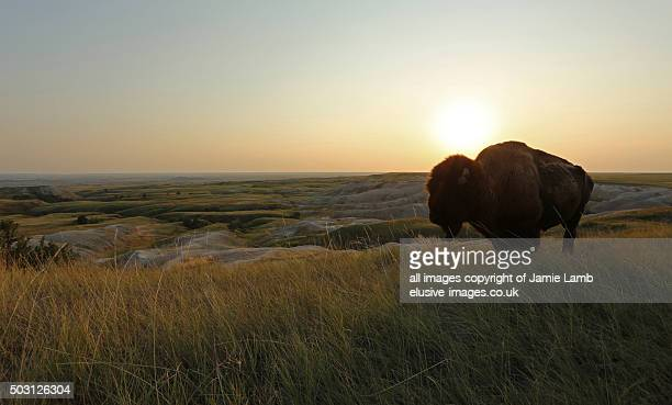 american plains bison silhouette at sunset, badlands - south dakota stock photos and pictures