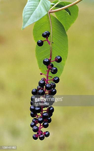 American Pokeweed, Phytolacca americana, with dark, purple-black berries. Frequently a troublesome weed with poisonous berries and roots. Michigan. USA