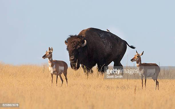 American pronghorns & bison
