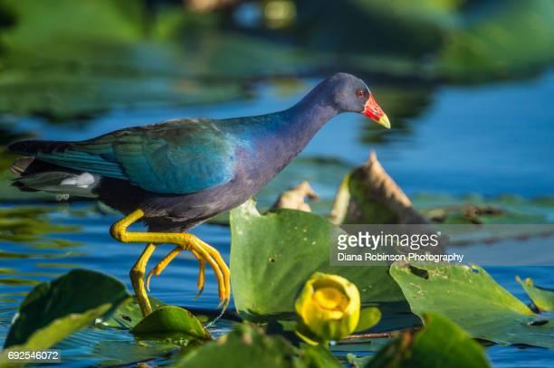american purple gallinule in everglades national park, florida - everglades national park stock pictures, royalty-free photos & images