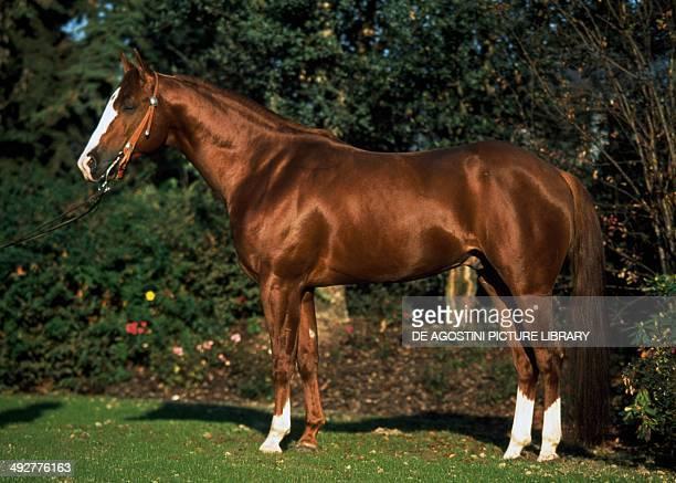 American Quarter Horse Equidae