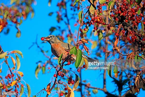 American red breasted robin Turdus migratorius holds a red crab apple in its beak as it feeds in an ornamental apple tree in autumn