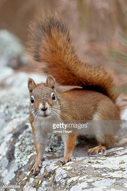 american red squirrel (red squirrel) (spruce squirrel) (tamiasciurus hudsonicus), custer state park, south dakota, united states of america, north america - american red squirrel stock photos and pictures