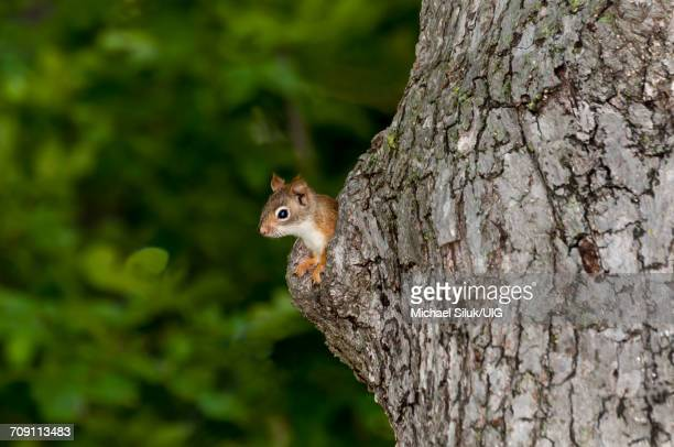 american red squirrel looking out of his nest in an old tree trunk - american red squirrel stock photos and pictures