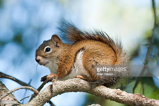 American Red Squirrel on Branch