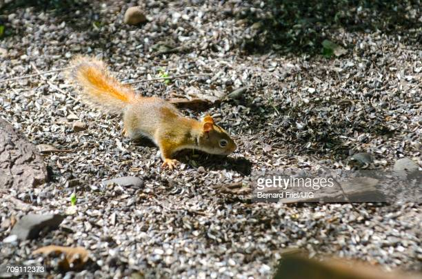 american red squirrel - american red squirrel stock photos and pictures