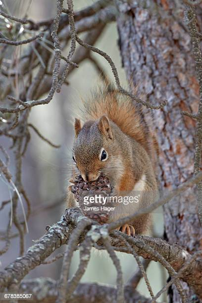 american red squirrel (red squirrel) (spruce squirrel) (tamiasciurus hudsonicus) with a pine cone, custer state park, south dakota, united states of america, north america - american red squirrel stock photos and pictures