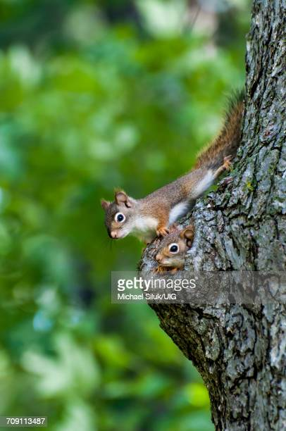 american red squirrels peeking out of their nest in an old tree trunk - american red squirrel stock photos and pictures