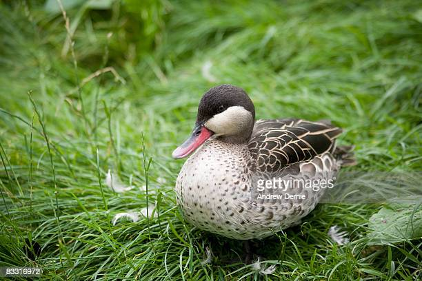 american red-billed tree duck - andrew dernie stock pictures, royalty-free photos & images
