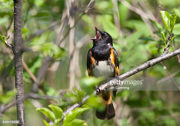 American Redstart singing (Setophaga ruticilla) male
