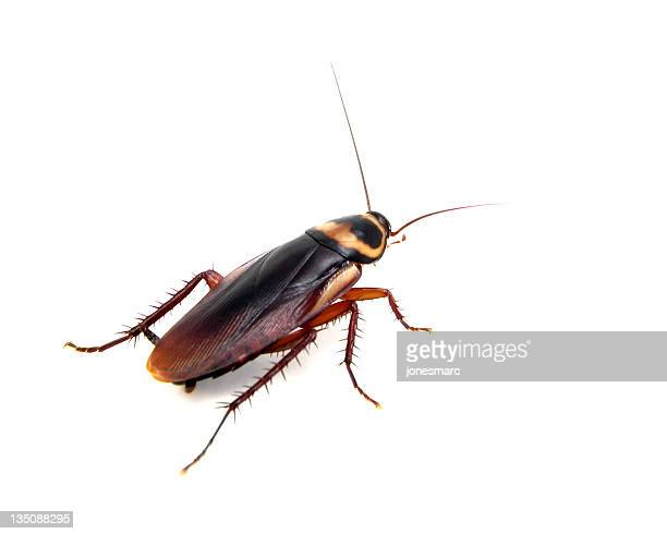 american roach - cockroach stock photos and pictures