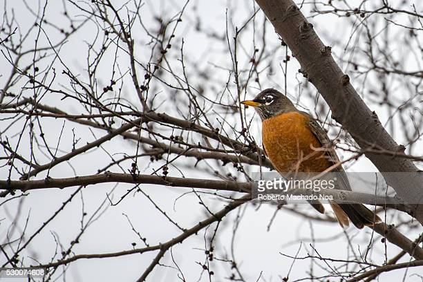 American Robin bird in the wilderness The Turdus migratorius is a migratory songbird of the thrush family It is named after the European robin...