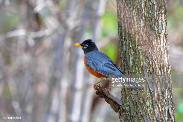 American Robin bird perched on a tree branch