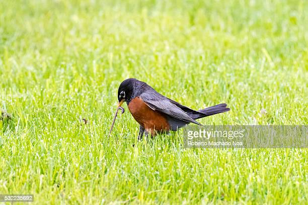 American Robin bird picking a worm from the field