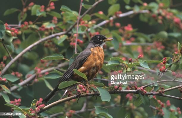 american robin (turdus migratorius), british columbia, canada - vista lateral stock pictures, royalty-free photos & images